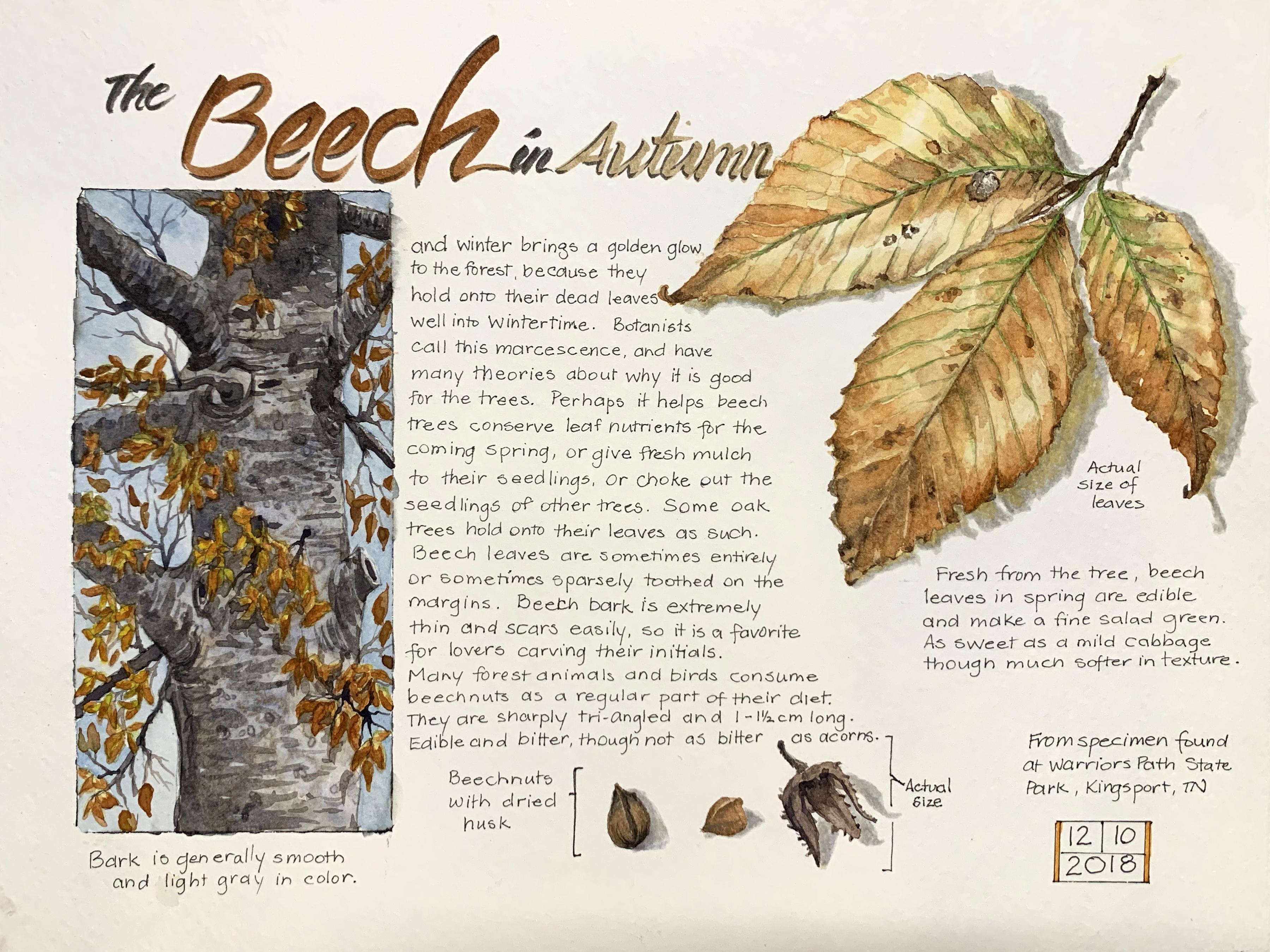 Beech-tree-02