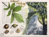 Bitternut-Hickory02-1
